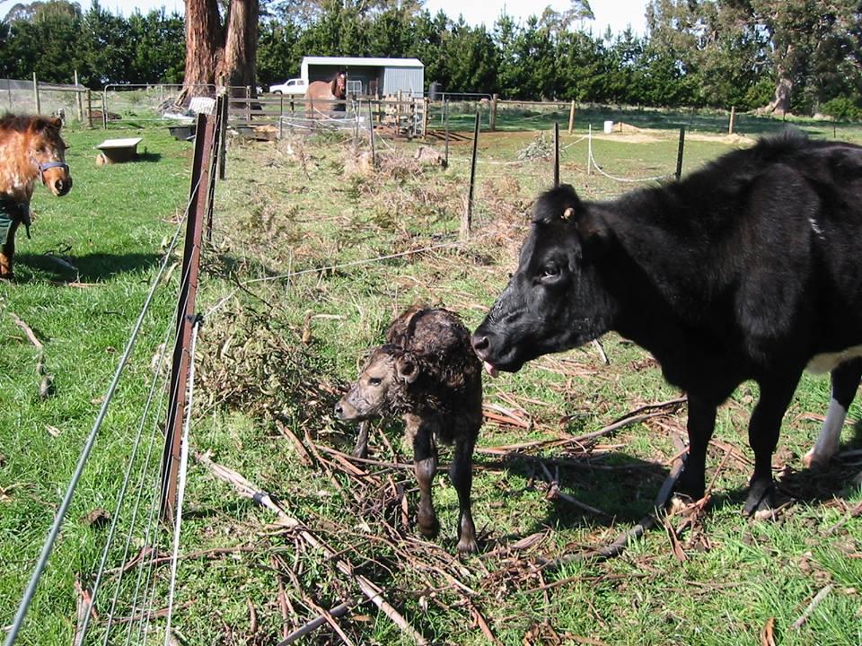noelene-cows
